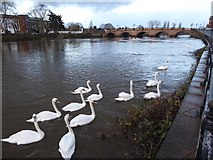 SO8454 : Swans at dawn by Philip Halling