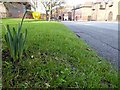 SO8454 : An unseasonal daffodil by Philip Halling