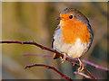 SD7908 : European Robin (Erithacus rubecula) by David Dixon