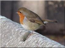 SJ4065 : A Christmas Robin in Chester by John S Turner