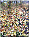 SP3780 : Carpet of fallen leaves of Norway Maple, Walsgrave, Coventry by Robin Stott