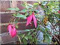 TQ2995 : Fuchsias in Flower on 29 December by Christine Matthews