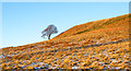 NZ0740 : Lone tree on lightly snowed bracken slope by Trevor Littlewood