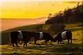 TQ2452 : Belted Galloways on Colley Hill by Ian Capper