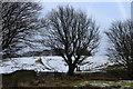 SO1802 : Large beech tree, Ebbw Valley Walk, below Mynydd Pen-y-fan by M J Roscoe