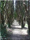 SW7340 : The avenue of yews, Gwennap churchyard by Humphrey Bolton