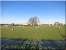 SU4773 : Sheep near Chieveley by Des Blenkinsopp