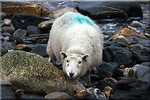 HP5605 : Shetland sheep on Westing beach by Mike Pennington