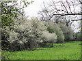 SP8914 : Blackthorn in bloom in Millhoppers Reserve by Chris Reynolds