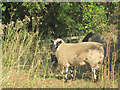 SP8914 : Sheep by the bridge in the Millhoppers Reserve by Chris Reynolds