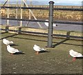 NY0336 : Gulls at Maryport Harbour by Richard Thomas