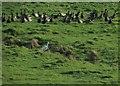 TG0644 : Brent Geese near Snipes Marsh by Derek Harper