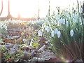 NZ2770 : Snowdrops in St John's Churchyard, Killingworth by Andrew Tryon