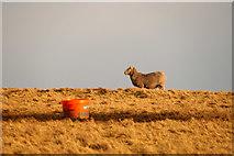 HP6200 : Sheep, and feeding bucket, Ramnageo by Mike Pennington