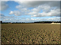 TM1780 : Crop fields by Dickleburgh by Evelyn Simak