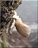 SX9065 : Fungus, Parkhurst Road, Torre by Derek Harper