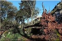 SX9065 : Fallen tree, Chapel Hill Pleasure Grounds by Derek Harper