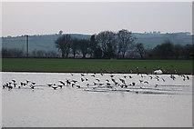 SN6962 : Ducks near Maes-llyn, Cors Caron by Rudi Winter