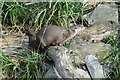 SO7104 :  North American River Otter by Philip Halling
