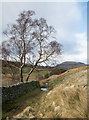 NY3922 : Tree beside dry stone wall by Trevor Littlewood