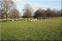 SP4317 : Sheep in Blenheim Great Park by Roger Templeman