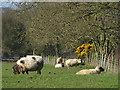 TA1648 : Sheep near Seaton Hold by Paul Harrop