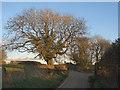 SS8278 : Tree beside Moor Lane, nr Nottage by eswales