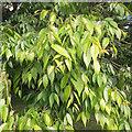 SP2965 : Foliage of Zelkova serrata, St Nicholas Park, Warwick by Robin Stott