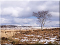 SK2575 : Birch tree on snowed moorland by Trevor Littlewood
