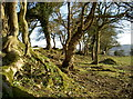 ST5858 : Trees on Burledge Hill fort by Neil Owen