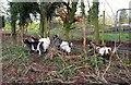 ST6462 : Goats, Hunstrete by Derek Harper