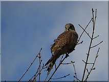 SO8844 : Kestrel by Philip Halling