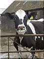 ST6762 : Punk cow by Neil Owen