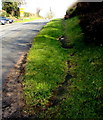SO4925 : Overgrown pavement, Sandyway, Herefordshire by Jaggery
