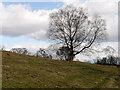 SD8203 : Tree on Grazing Field at Heaton Park by David Dixon