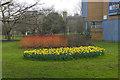 SU9850 : Daffodils, Surrey University by Alan Hunt