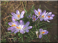 SD4775 : Crocuses in woodland by The Row, Silverdale (2) by Karl and Ali