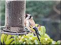 TQ2995 : Goldfinch on Nyger Feeder, London N14 by Christine Matthews