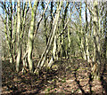 TG1600 : Brambles and bare trees in Hethel Wood by Evelyn Simak