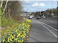 SE1021 : Daffodils alongside Calderdale Way, Elland by Humphrey Bolton