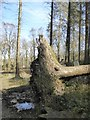 SS4917 : Rootball of a fallen tree, RHS Rosemoor by David Smith