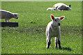 TA0147 : Lamb at Beswick by Paul Harrop