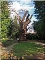 TQ2993 : The Michenden Oak, Southgate by Julian Osley