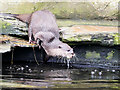 SD4214 : Otter Entering The Pool at Martin Mere by David Dixon