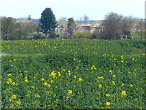 TL0393 : Oil seed rape crop near Woodnewton by Mat Fascione
