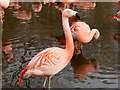 SD4314 : Chilean Flamingos (Phoenicopterus chilensis) at Martin Mere by David Dixon