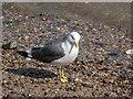 TQ3079 : Lesser Black Backed Gull, London SW1 by Christine Matthews