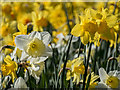 TQ2997 : Daffodils, Trent Park, London N14 by Christine Matthews
