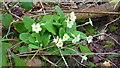SO4132 : Wild primrose, Primula veris by Jonathan Billinger