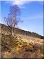 NN3234 : Clear-felled area of plantation by Trevor Littlewood